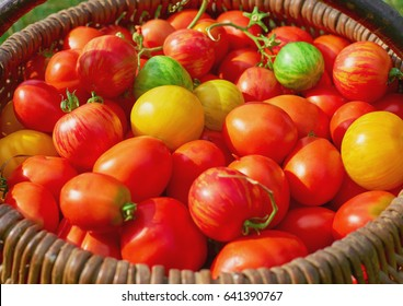 Ripe organic tomatoes in a basket