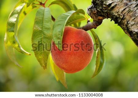 A ripe peach ready for picking at a orchard in the Blue Ridge mountain region of Virginia.
