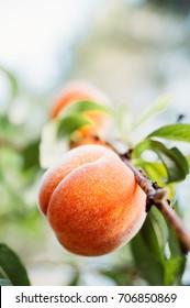 Ripe peaches growing in peach tree