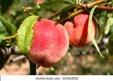 Ripe peaches, harvest time in Crimea