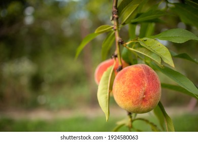 ripe peaches on a branch close-up