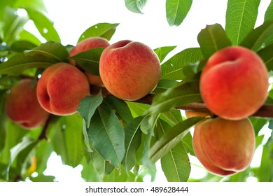 Ripe peaches on a branch with leaves on a white background
