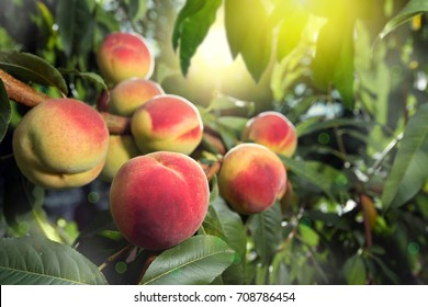 Ripe peaches on the branches of the tree in the rays of the rising sun.