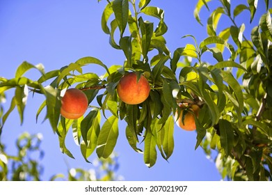 Ripe peaches on a tree with blue sky background