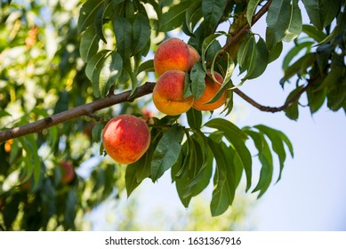 Ripe peaches  on a tree branch, summer garden
