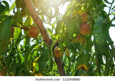 Ripe peaches ready for picking at a orchard in the Blue Ridge mountain region of Virginia.