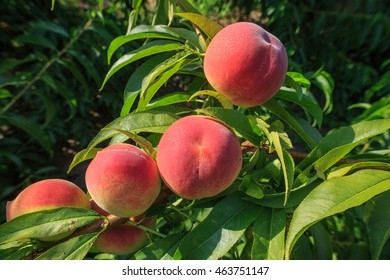 Ripe peaches, a well-known delicious fruit, are ready to harvest from an outdoor perennial tree.