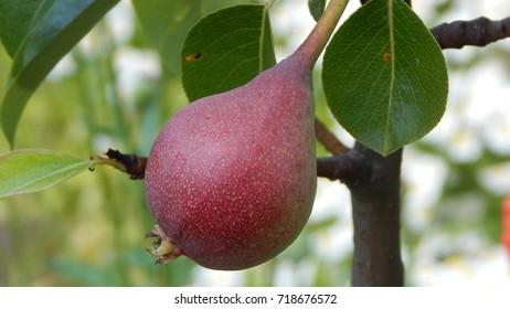 Ripe pear on tree brance