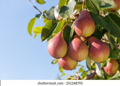 Ripe pears on the tree against the blue sky.