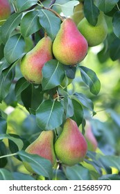 Ripe pears on a tree branch.