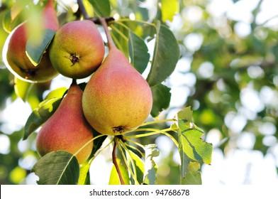 Ripe pears on the tree. Pear tree.