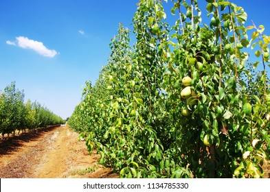 ripe pears in a pear orchard