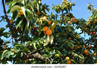 Ripe persimmon on a tree