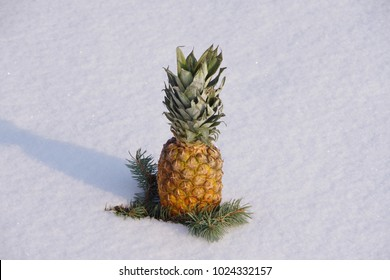 Ripe pineapple lies on the snow against the background of a spruce branch.