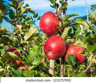 ripe pink lady apples variety on a apple tree at South Tyrol in Italy. Harvest time