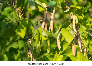 Ripe pods of kidney bean growing on farm. Bush with bunch of pods of haricot plant (Phaseolus vulgaris) ripening in homemade garden. Organic farming, healthy food, BIO viands, back to nature concept.