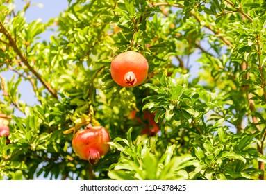 Ripe pomegranate fruit on tree branch
