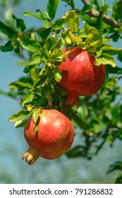 Ripe pomegranate fruit on the tree branch in summer, selective focus