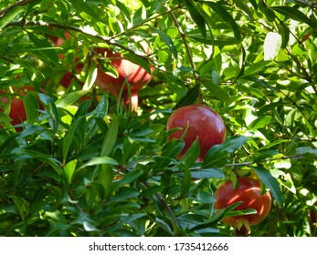 Ripe pomegranate fruits hang on a branch in the garden
