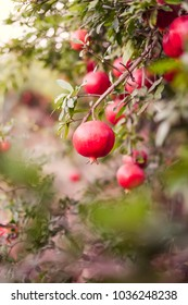 Ripe pomegranate fruits hanging on a tree branches in the garden. Harvest concept. Sunset light. soft selective focus, space for text
