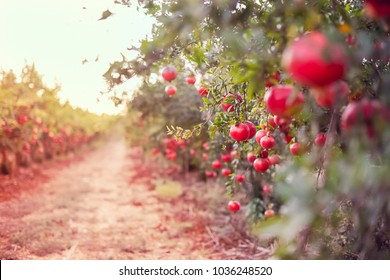 Ripe pomegranate fruits hanging on a tree branch in the garden. Sunset light. soft selective focus, space for text