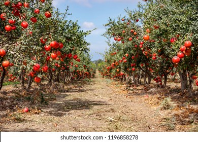 Ripe pomegranate fruits on the branches of trees in the garden.Rows of pomegranate trees with ripe fruits on the branches in a garden.