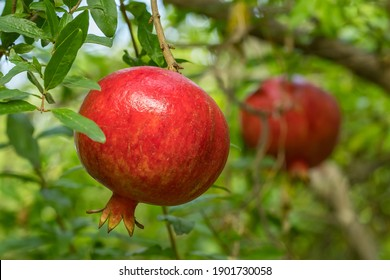 Ripe pomegranate fruits on a tree branch close-up