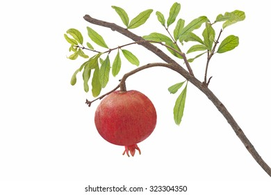 Ripe pomegranate on branch isolated on white background