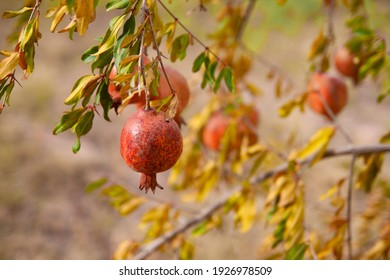 a ripe pomegranate weighs on a branch