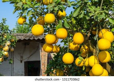 Ripe pomelo fruits hang on the trees in the garden.