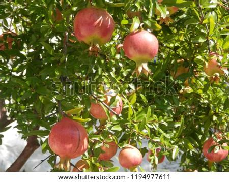 ripe pommegranate fruit on tree granada stock photo edit now