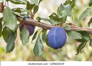 ripe prune plum on plum tree with copy space