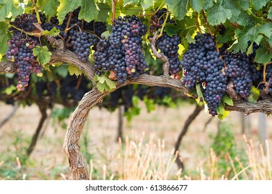 Ripe purple grapes growing and hanging on grape tress in vineyard. Shrub grapes before harvest. Large bunches of red wine grapes hang from an old vine in warm afternoon light.