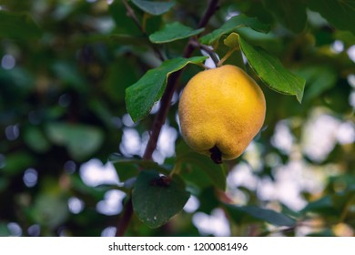 Ripe quince fruits on the branches in the garden