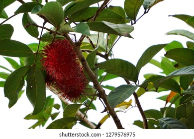 Ripe rambutans hung on trees. Delicious fruit from Indonesia. Rambutan on white background