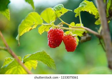 Ripe a raspberry