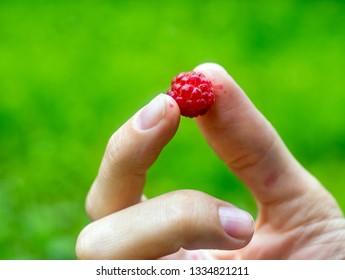 Ripe raspberry in female hand on green background in the garden