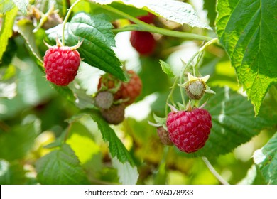 Ripe raspberry in the fruit garden. Raspberry bushes with ripe berries. - Shutterstock ID 1696078933
