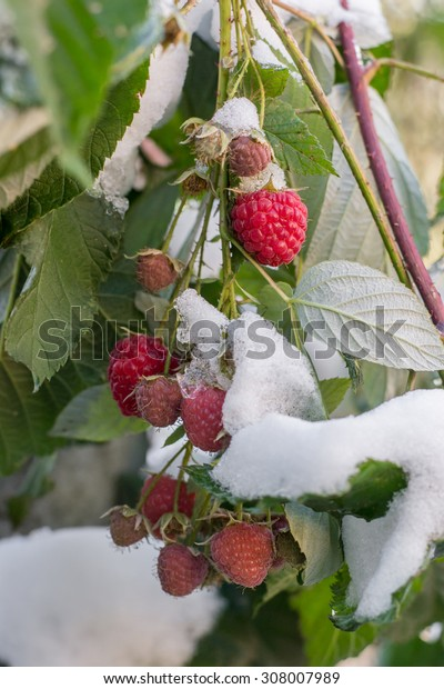 Ripe raspberry with leaves later in the early snow