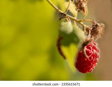 Ripe raspberry on branch - raspberry (Rubus idaeus)
