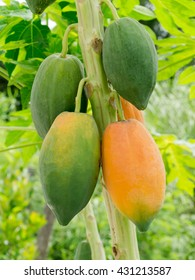 Ripe and raw papaya on the tree.