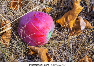 Ripe red apple fruit on the dry grass