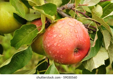 Ripe Red Apples Covered with Raindrops - Shutterstock ID 59030560
