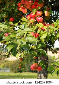 Ripe red apples on an appletree