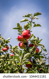 Ripe red apples on a tree in summer. Background of blue sky and wispy white clouds. Green leafy bough. Fresh summery image of fruit.