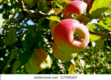 Ripe red apples on a tree in an orchard on a sunny day; horizontal