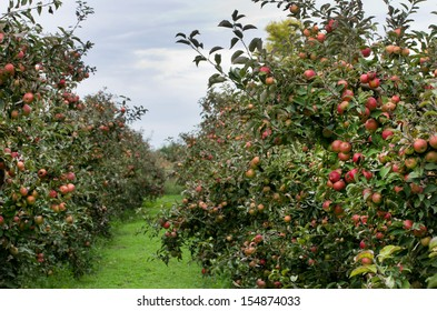 Ripe red apples on trees