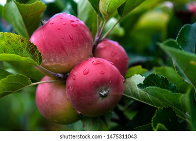 Ripe Red Apples Wet From Waterdrops On Tree