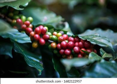 ripe red  Arabicas Coffee fruit on a tree , coffee plantation