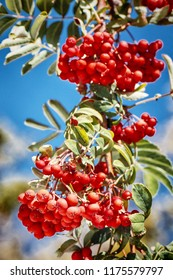 Ripe red ashberry on a blue sky background in autumn